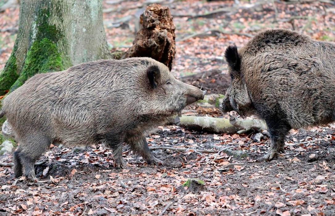 Castilla-La Mancha levanta las restricciones a los cazadores que se dirijan a cotos con riesgo de sobreabundancia de especies cinegéticas