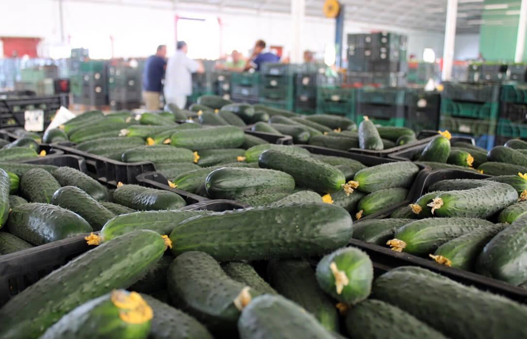 Acuerdo para retirar el 30% de la producción comercializable de pepino para frenar la crisis de precios