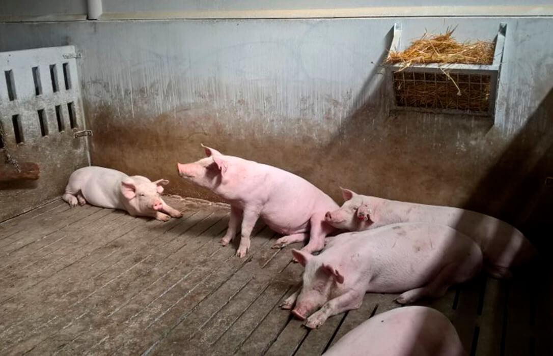 Alertan de un aumento de los robos en granjas porcinas tanto de animales como de distinto material