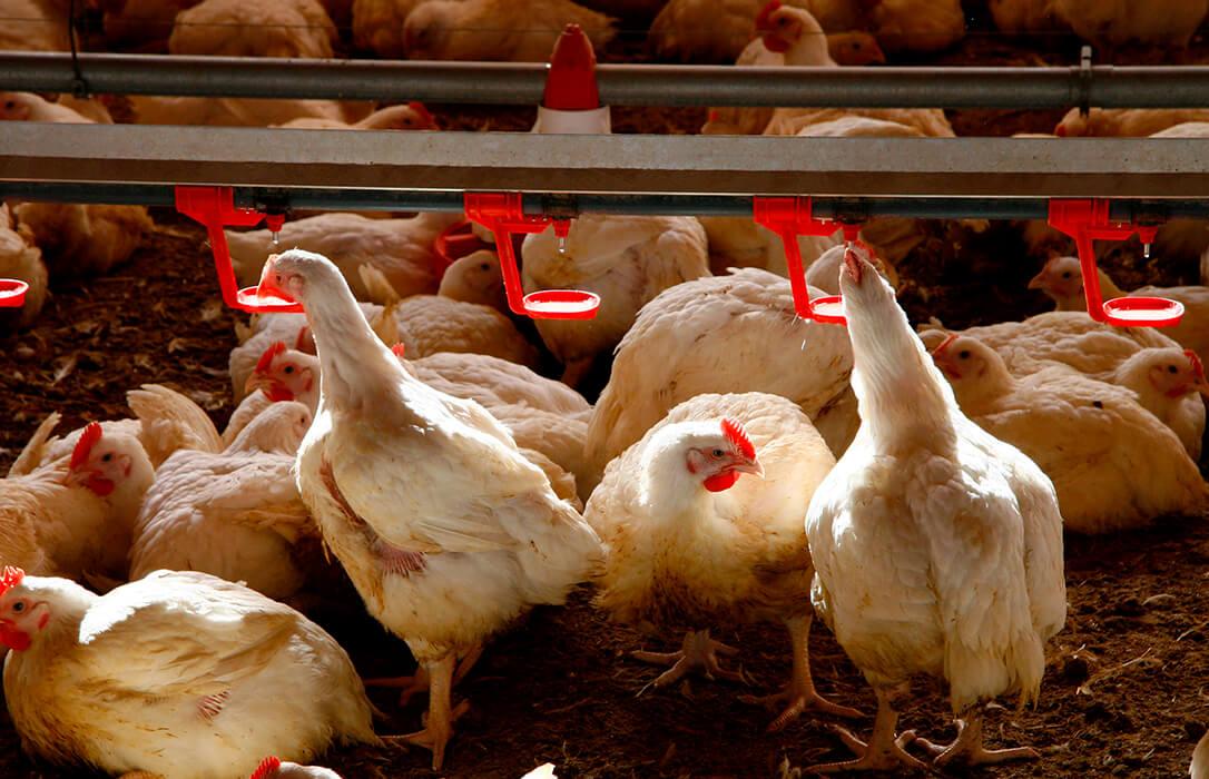 El sector del pollo lanza un SOS: «Vamos a perder lo equivalente a meses de trabajo por la especulación y la pandemia»