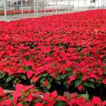 El Consejo de Ministros ratifica ayudas por valor de 10,4 millones al sector productor de flor cortada y planta ornamental