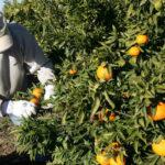 Otra decisión de la UE sin valorar las consecuencias: Eliminar el Mancozeb disparará los gastos de los tratamientos fitosanitarios un 25% 1
