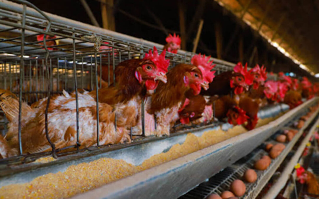 Proponen que la Comisión Europea conceda ayudas al sector avícola tras la crisis del Covid y los casos de gripe aviar