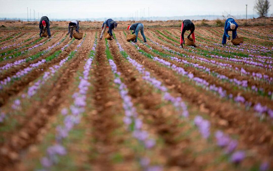 Sabor agridulce al finalizar la cosecha 2020 de la DOP Azafrán de La Mancha: Menos producción pero con una gran calidad