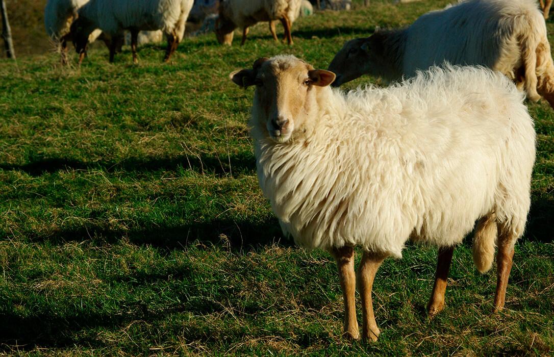 Nueva denuncia por los abusos en la compra de leche de oveja por la falta de controles a los gobiernos vasco y navarro