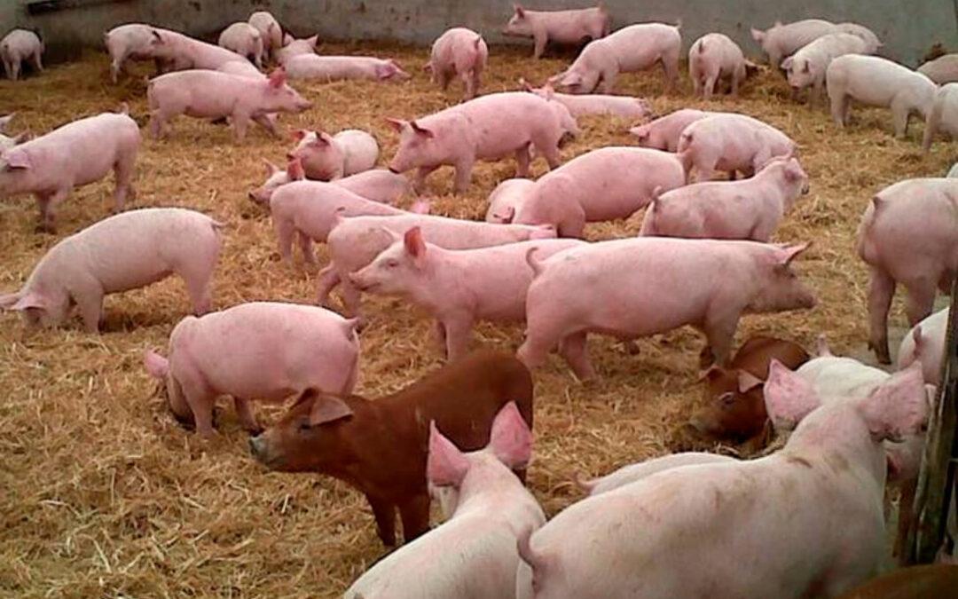 Las exportaciones españolas de porcino a China se duplican hasta septiembre con más de 900.000 toneladas