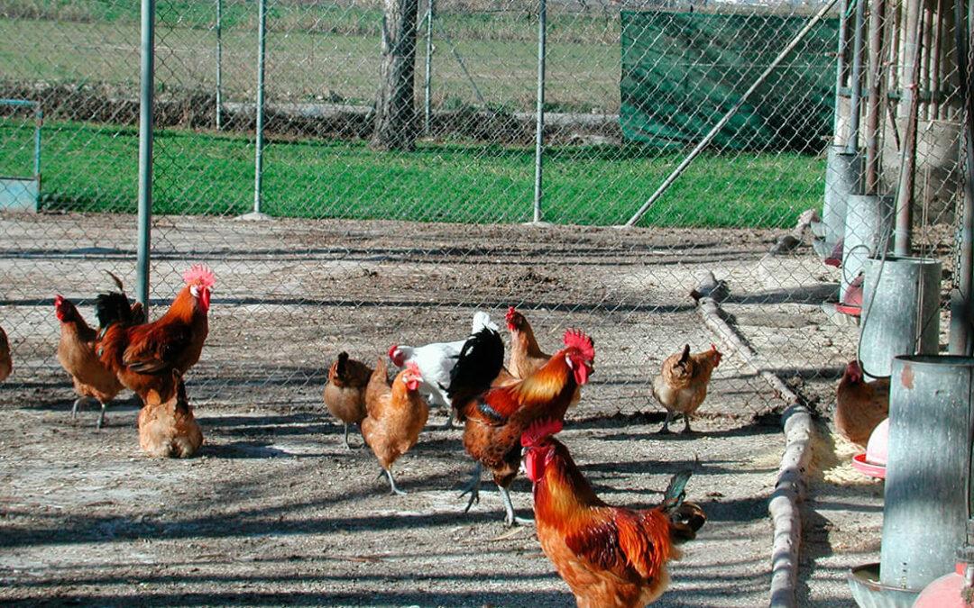 Los gansos y gallinas tienen más riesgo de infectarse con la cepa H5N8 de gripe aviar
