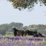 El toro de lidia no logra su propuesta de unidad y la Unión de Criadores retira su iniciativa de aunar a todas las asociaciones 1