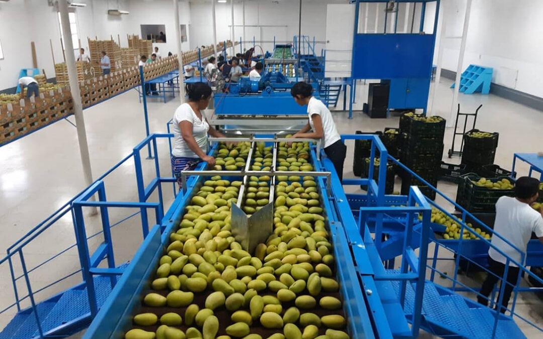 El mango de Guatemala apuesta por la diversificación comercial de manera sostenida