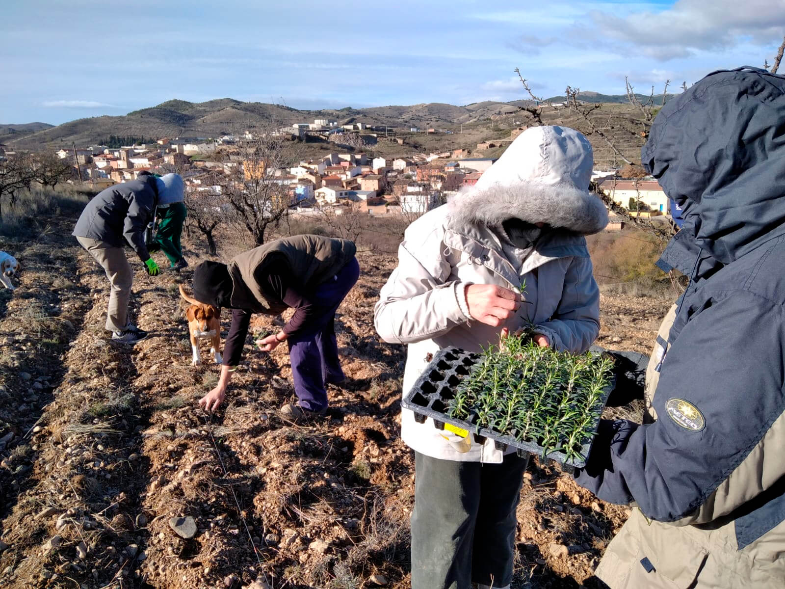 El Valle del Manubles se llena de plantas aromáticas con un ensayo para ver su adaptación con un criterio ecológico