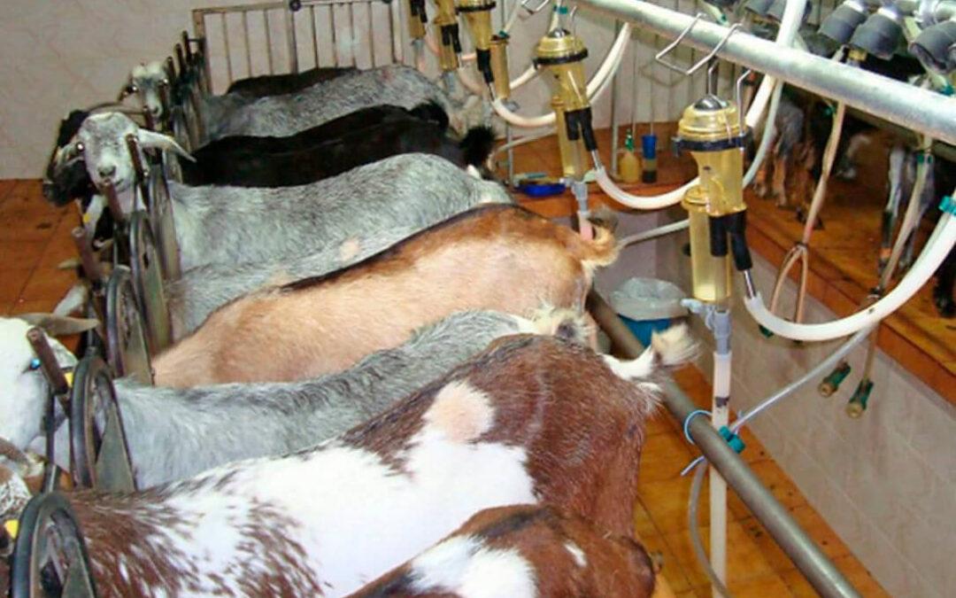 Con los cereales sin cambios, el precio de la leche de cabra sorprende en su subida sobrepasando a la de oveja en la Lonja de León