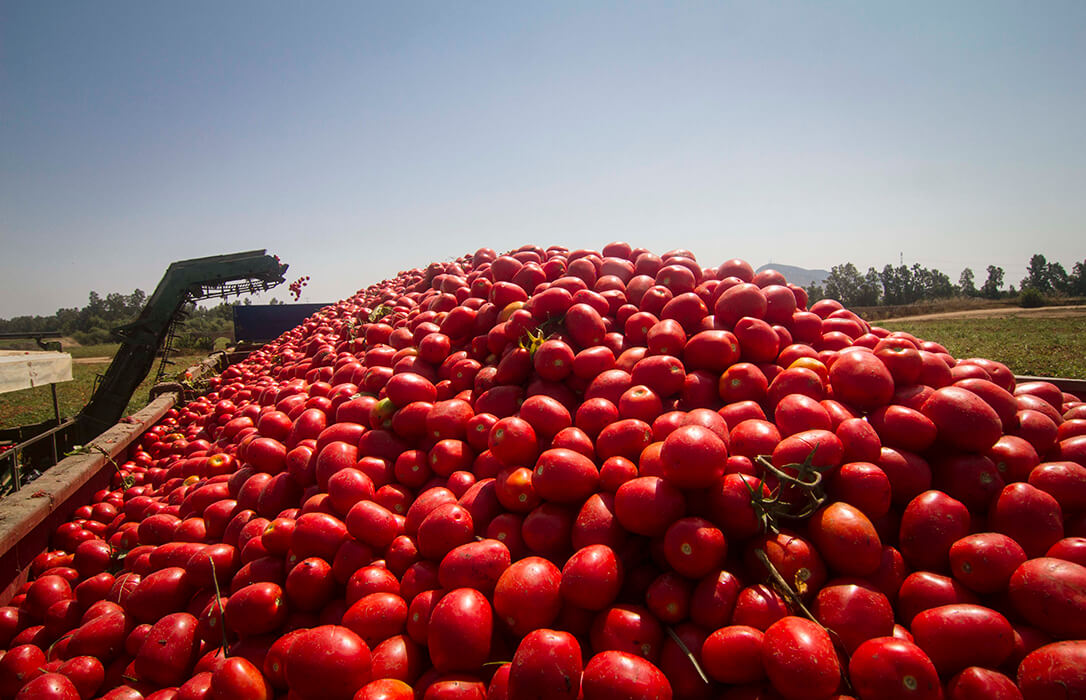 Se denunciará a las empresas que pagen cualquier precio por debajo de los 90,10 € por tonelada en el tomate transformado