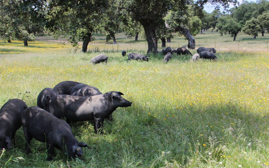 Estudian el contagio de tuberculosis animal entre cerdos y distintos animales salvajes en las dehesas