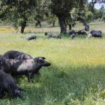 Estudian el contagio de tuberculosis animal entre cerdos y distintos animales salvajes en las dehesas 1