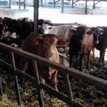 Un robo muy familiar: Un matrimonio de ganaderos y su hijo son investigados por la sustracción de una vaca y manipular su crotal 1