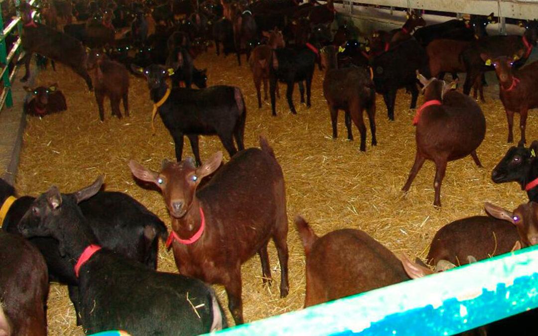 Vacunar la reposición y eliminar animales positivos como herramienta para el control de la tuberculosis en cabras