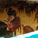 Vacunar la reposición y eliminar animales positivos como herramienta para el control de la tuberculosis en cabras 1