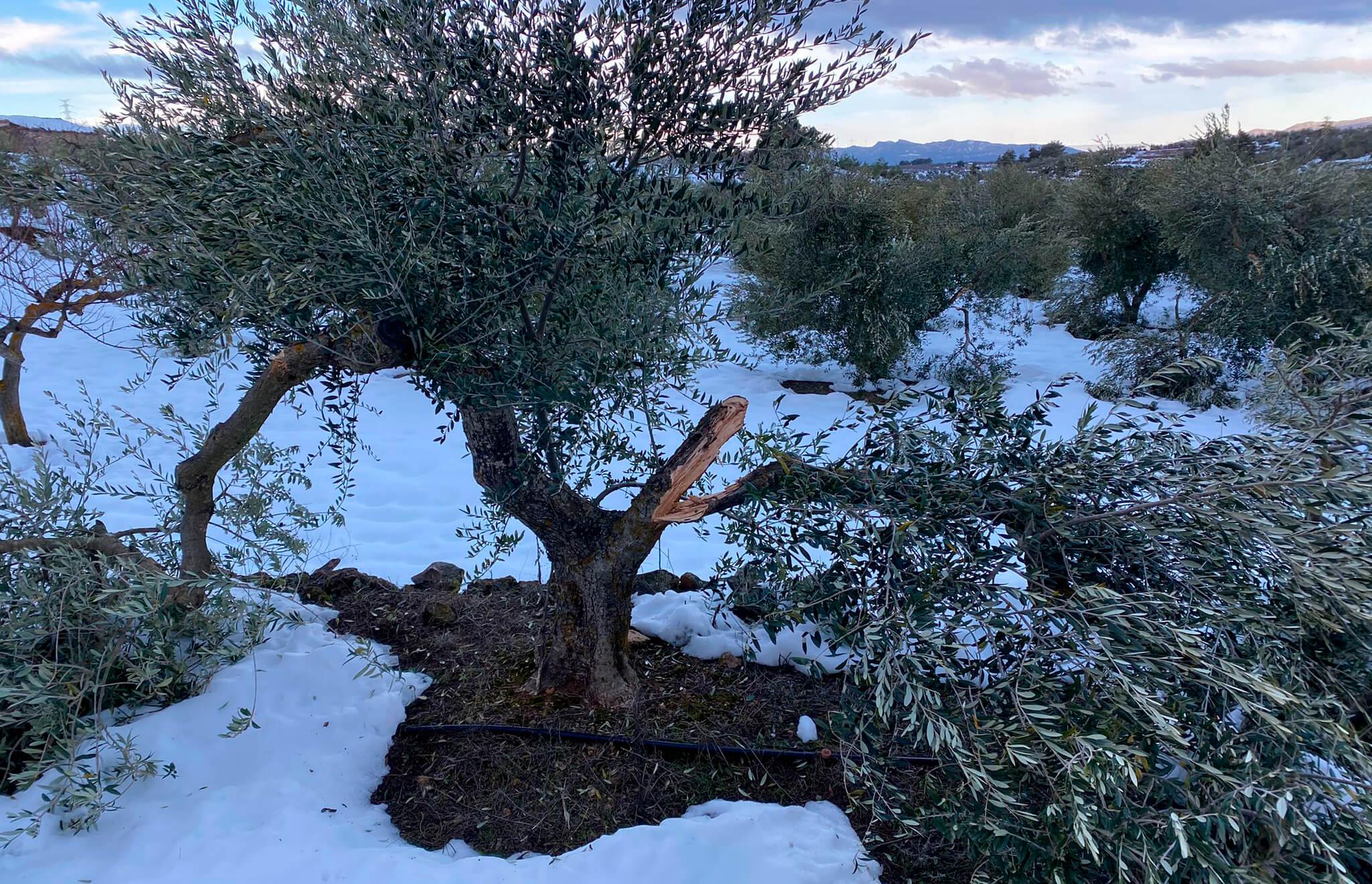 Reclaman celeridad para gestionar la compensación de los daños provocados en el olivar por el temporal en Cataluña