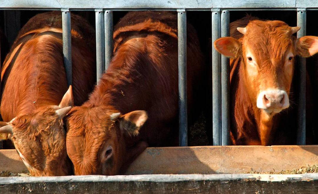 Cinco meses de prisión a un ganadero que infectó con brucelosis a sus vacas para cobrar las indemnizaciones por su sacrificio