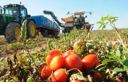 El sector del tomate insiste en que no firmar ni un solo contrato que no repercuta un 25% en el precio de lo que propone la industria