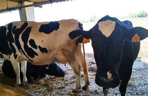 El sector vacuno andaluz denuncia la situación crítica de las explotaciones lecheras de Andalucía ante la presión de la industria