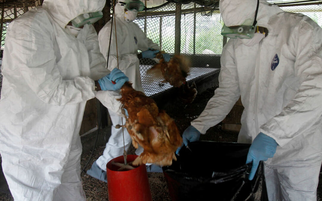Aumenta la preocupación: Se doblan en solo cuatro días los focos de gripe aviar en Francia cerca de la frontera española