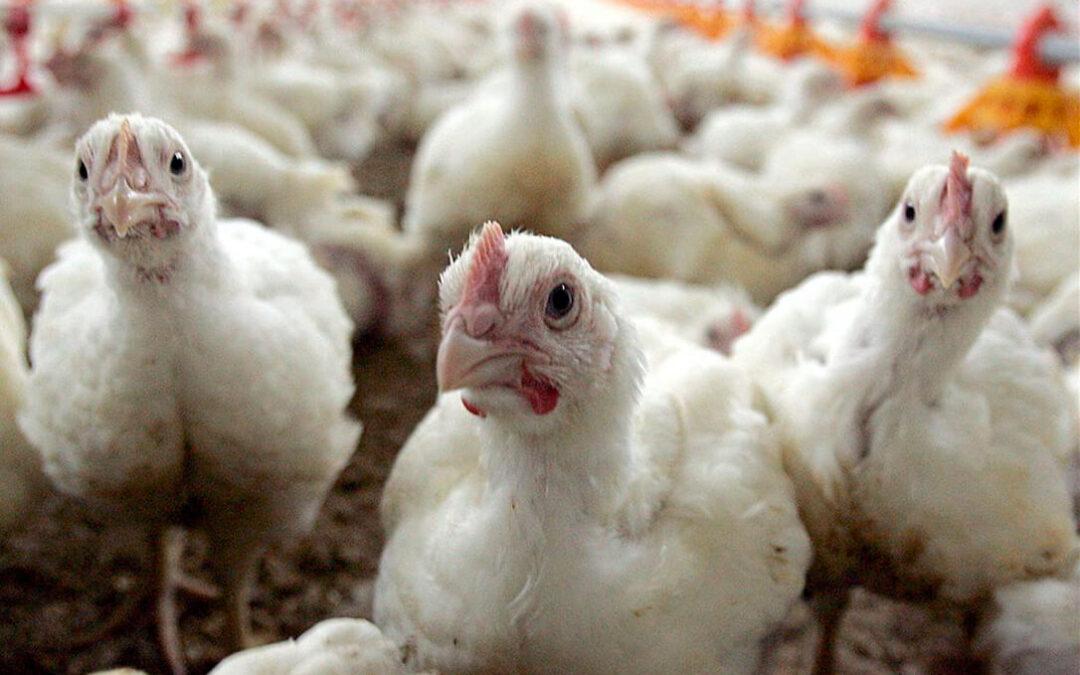 Se disparan hasta 61 los focos de gripe aviar identificados en Francia, la mayoría junto a la frontera española