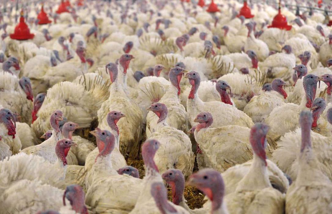 El Gobierno refuerza las medidas bioseguridad para evitar la influenza aviar en España