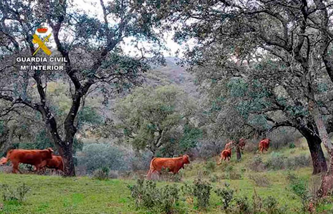Ejemplo de lo que no debe ser la ganadería: Investigan a familia de ganaderos por invadir fincas ajenas con su vacas y hundir su montanera