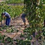 Alegaciones para la cosecha en verde: Que haya un presupuesto propio y permitir la vendimia parcial en los viñedos 1