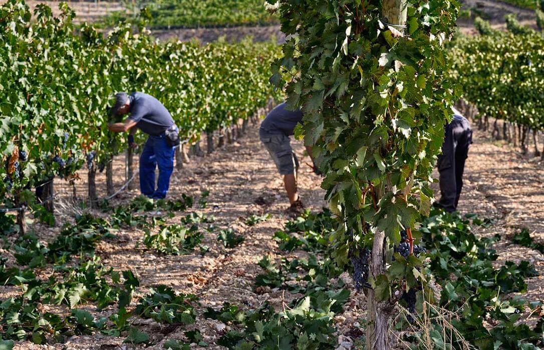 Alegaciones para la cosecha en verde: Que haya un presupuesto propio y permitir la vendimia parcial en los viñedos