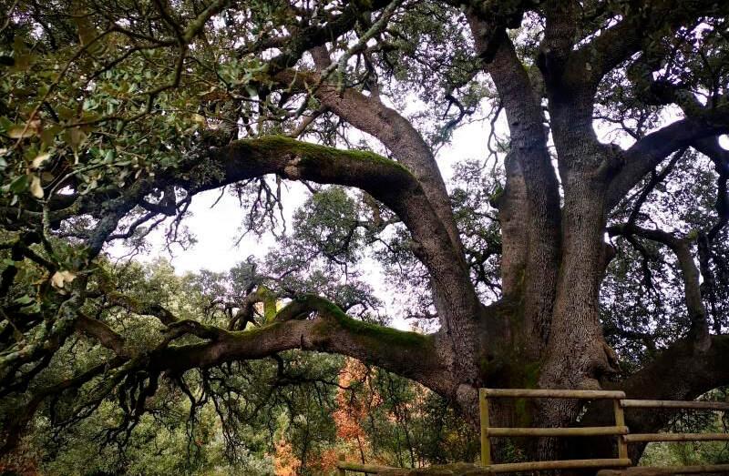 La abuela de las encinas de España, la  carrasca milenaria de Lecina (Huesca), aspira a convertirse en árbol europeo del año