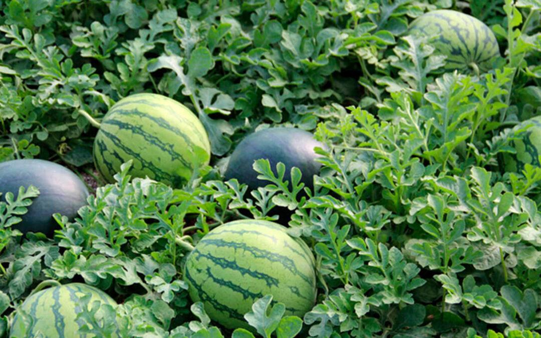 La Interprofesional de melón y sandía se suma a la campaña de apoyo a los regantes del Alto Guadiana en contra de los recortes de agua
