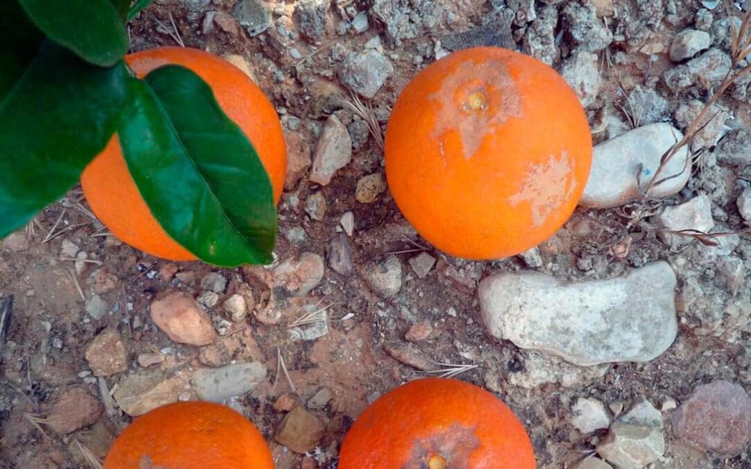 Andalucía declara oficialmente la existencia de una nueva plaga de insectos que afecta a cítricos y berries