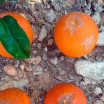 Andalucía declara oficialmente la existencia de una nueva plaga de insectos que afecta a cítricos y berries 1