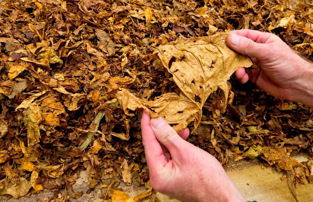 Lucha por salvar las ayudas de la PAC al sector: Cada inversión en tabaco se multiplica por diez las rentas en la zona productora