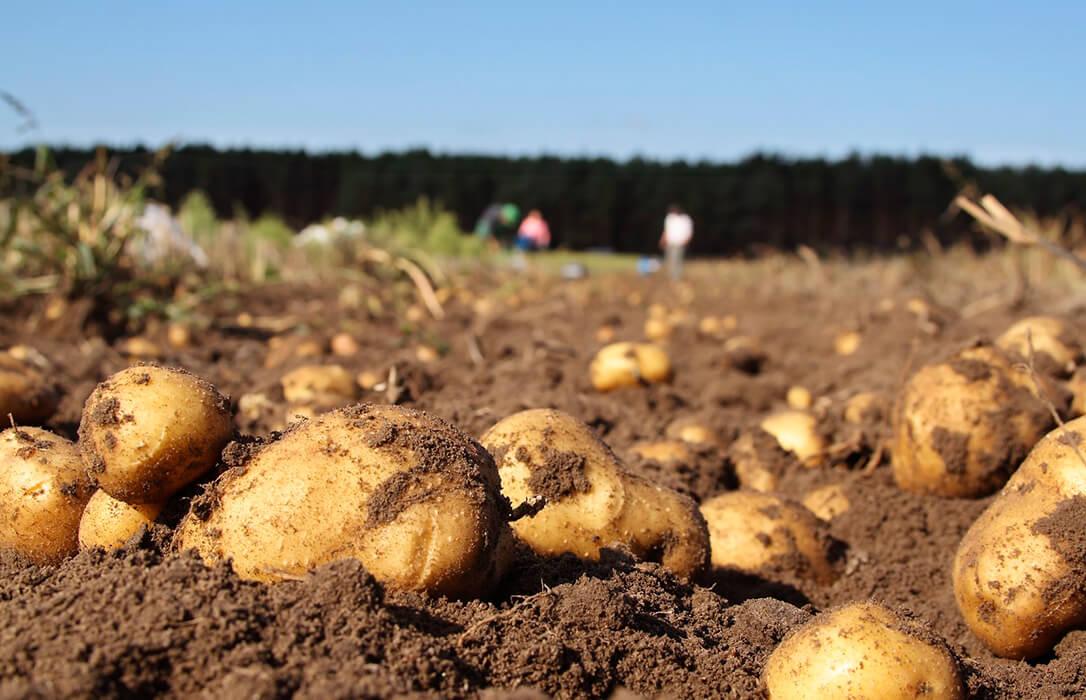 La Xunta levanta la prohibición de plantar patatas en nueve ayuntamientos gallegos afectados por la polilla