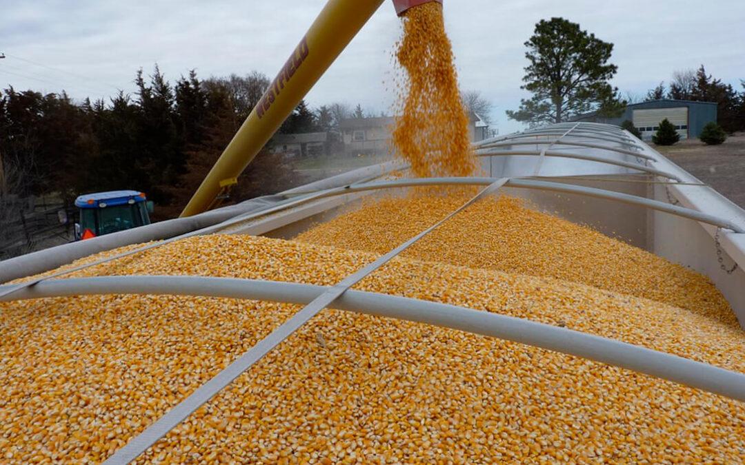 Poco a poco la presión alcista del maíz se traslada del mercado internacional al nacional, donde suben las cotizaciones