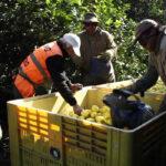 Récord sin precedentes: 25 alertas sanitarias de limones y pomelos turcos en la UE 1