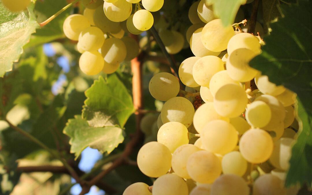 Cooperativas pide una destilación de crisis de 6 millones hectolitros de vino para lograr una regulación de mercado