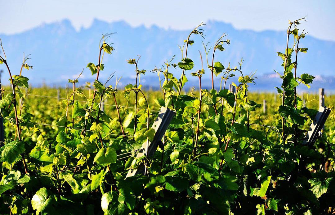 El Tribunal Supremo anula la orden que limitaba la superficie de plantación de viñas con producciones destino Cava