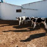 Los ganaderos de leche enfurecen con ciertas industrias lácteas: «Ofertar contratos a la baja es inasumible» 1
