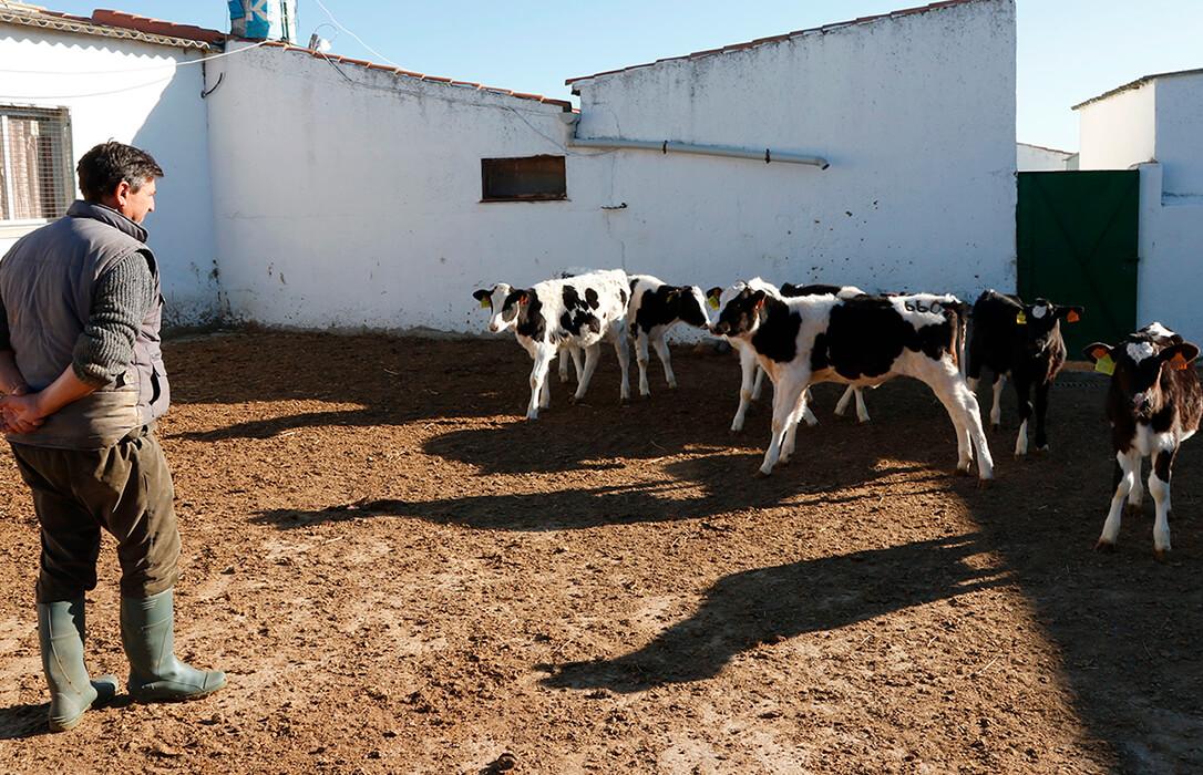Los ganaderos de leche enfurecen con ciertas industrias lácteas: «Ofertar contratos a la baja es inasumible»