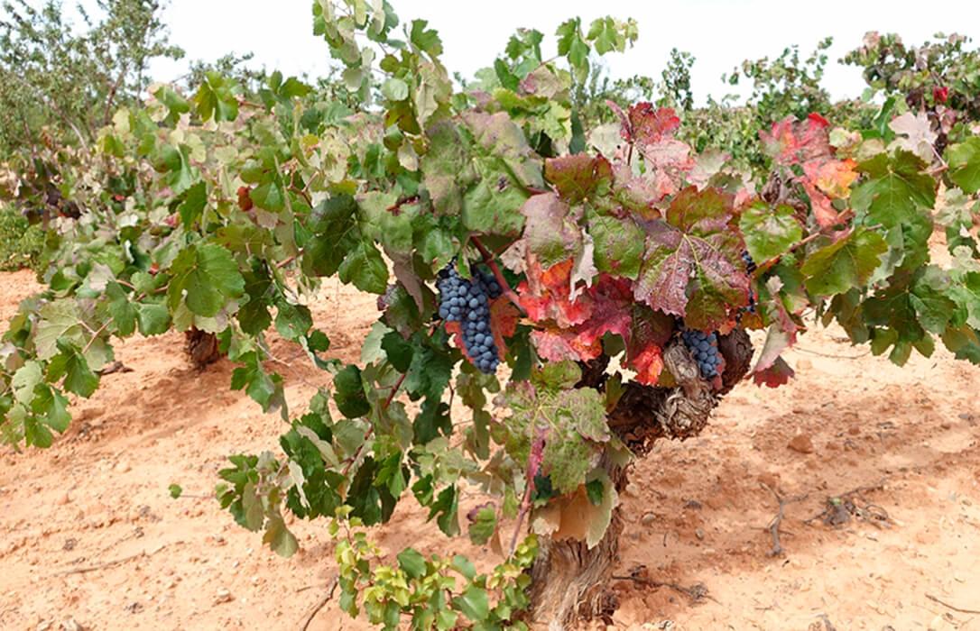 Viticultores valencianos llevan un año sin ingresos y reclaman al Consell que agilice los pagos pendientes