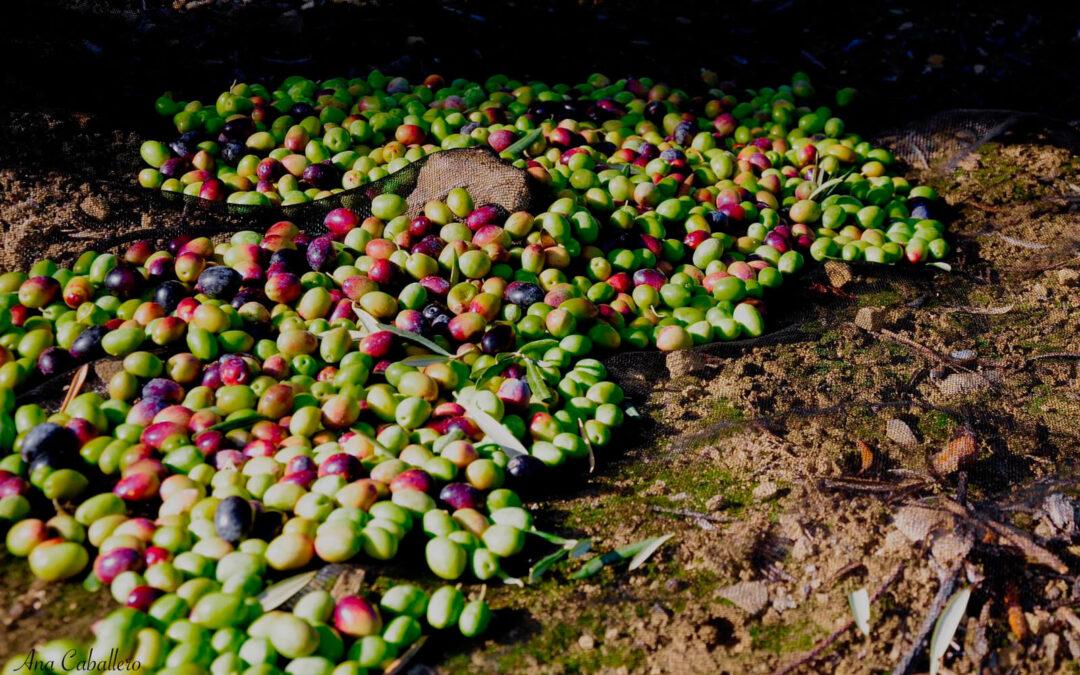 La Junta de Andalucía asume la realidad y ajusta a la baja el aforo inicial de aceite de oliva en casi 300.000 toneladas
