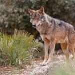 La asociación que promovió la protección del lobo insiste en sus argmentos pero reconoce el «derecho al pataleo» de los ganaderos 1