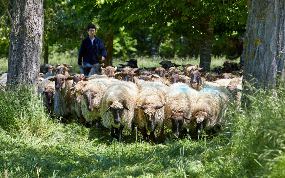 Denuncian a la industria quesera de amenazar con no recoger la leche de oveja y ofertar dos precios distintos en los contratos