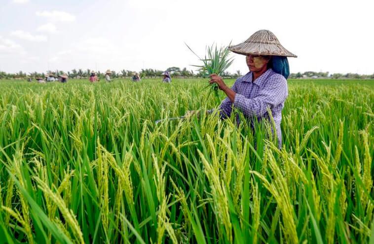 Todo el sector arrocero extremeño reclama que se paralicen las importaciones de arroz de Myanmar a la UE tras el golpe de Estado