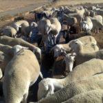 Los grupos por la coexistencia del lobo y la ganadería extensiva exigen la participación de los actores locales para la conservación del lobo 1