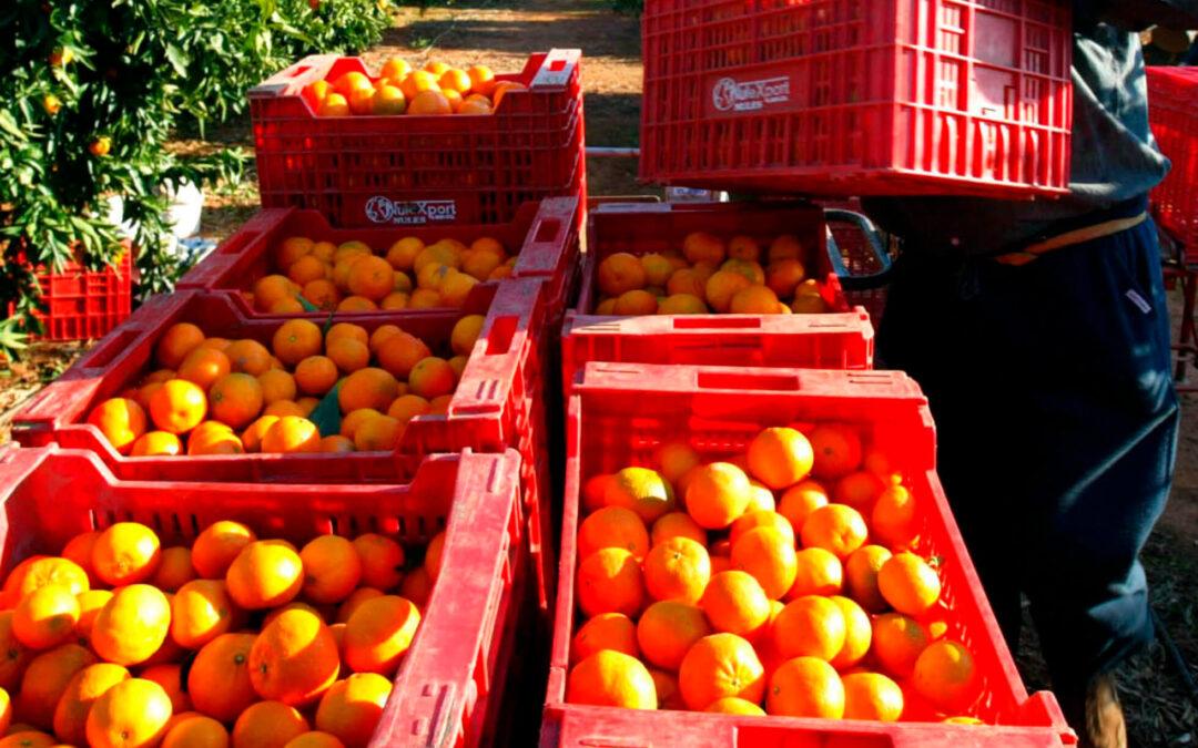 Las importaciones citrícolas baten un nuevo récord histórico al crecer un 15%, Sudáfrica copa ya el 44% y hunde al sector nacional